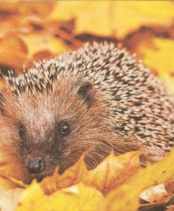 Dekorszalvéta Hedgehog in Maple Leafs